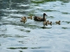 Baby Duck family at Twin Oaks